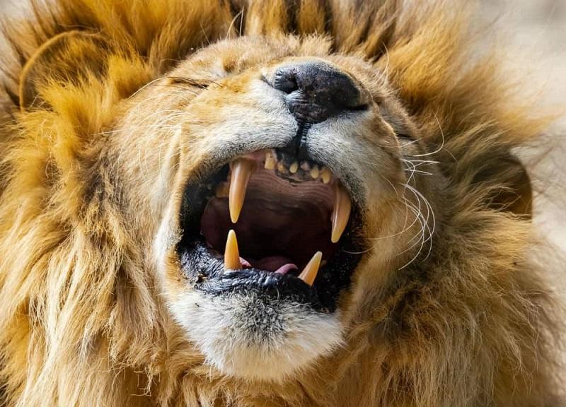 En güçlü ısıran hayvan, 10. Aslan