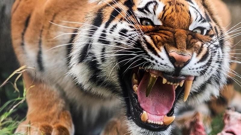En güçlü ısıran hayvan, 9. Bengal Kaplanı