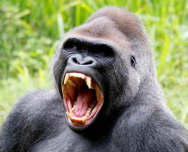 En güçlü ısıran hayvan, 6. Goril