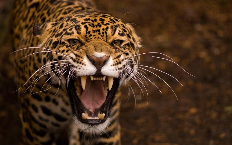 En güçlü ısıran hayvan, 4. jaguar